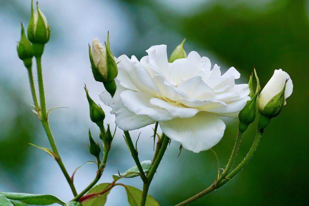 Roses in Bloom, Miscarrying Matthew Titus